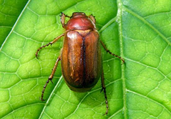 Amphimallon Solstitialis