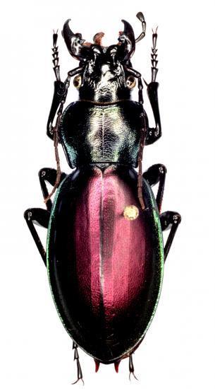 Lamprostus Erenleriensis