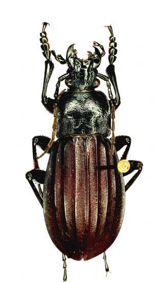 Aulonocarabus Canaliculatus