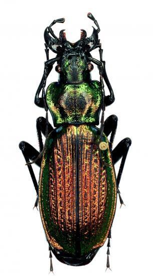 Archiplectes Starckianus