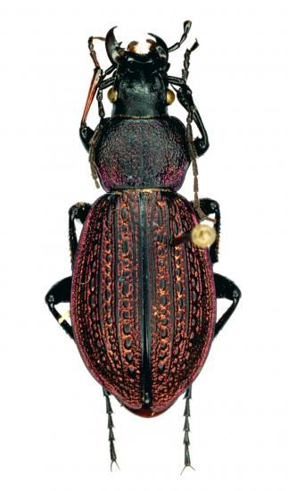 Sphodristocarabus Armeniacus Pseudoarmeniacus