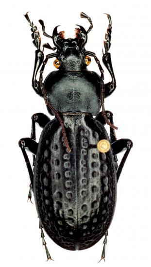 Oreocarabus Porrectangulus Ispiriacus