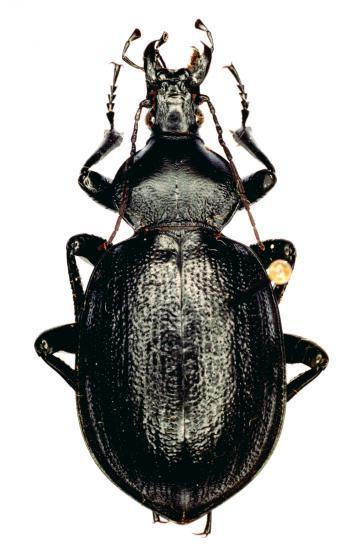 Cathoplius Stenocephalus