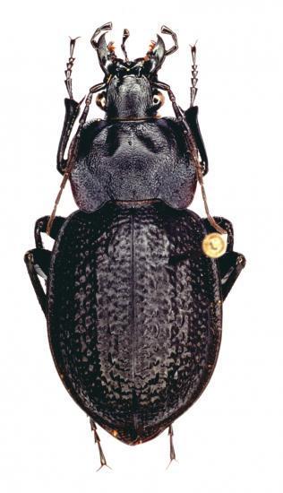 Eurycarabus Famini Piraticus