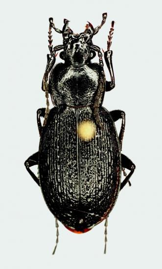 Tomocarabus Chamissonis Washingtoni