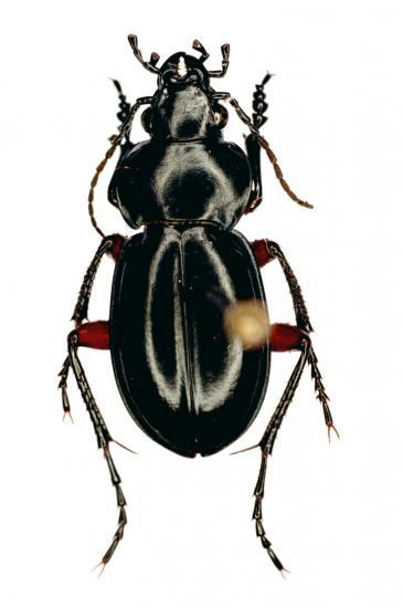 Carabophanus Gestroi